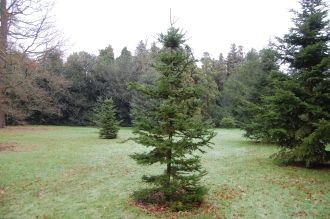 Abies sachalinensis (30/12/14, Kew Gardens, London)
