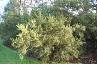 Erica arborea var. alpina (30/12/14, Kew Gardens, London)