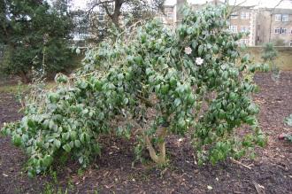 Camellia japonica 'Magnoliaeflora' (01/03/2015, Kew gardens, London)