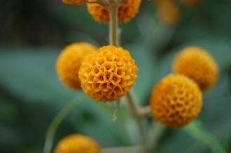 Buddleja globosa Flower (23/05/2015, Kew Gardens, London)