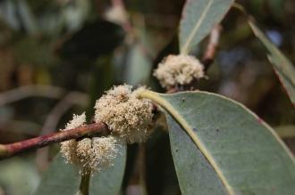 Eucalyptus neglecta Flower (18/07/2015, Kew Gardens, London)