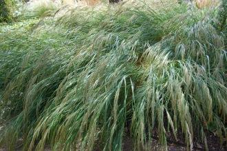 Stipa calamagrostis (18/07/2015, Kew Gardens, London)