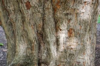 Acer opalus subsp. obtusatum Bark (15/08/2015, Kew Gardens, London)